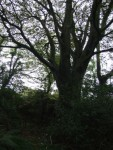 Beech Tree sentinel at entrance to Corlican Burial Ground
